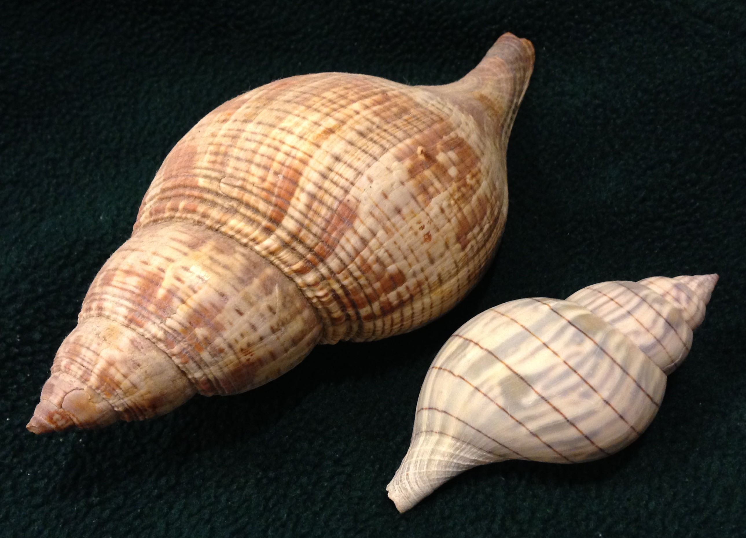 True Tulip & Banded Tulip, 2-28-15, Cayo Costa Island, SeaShell News & Shelling.