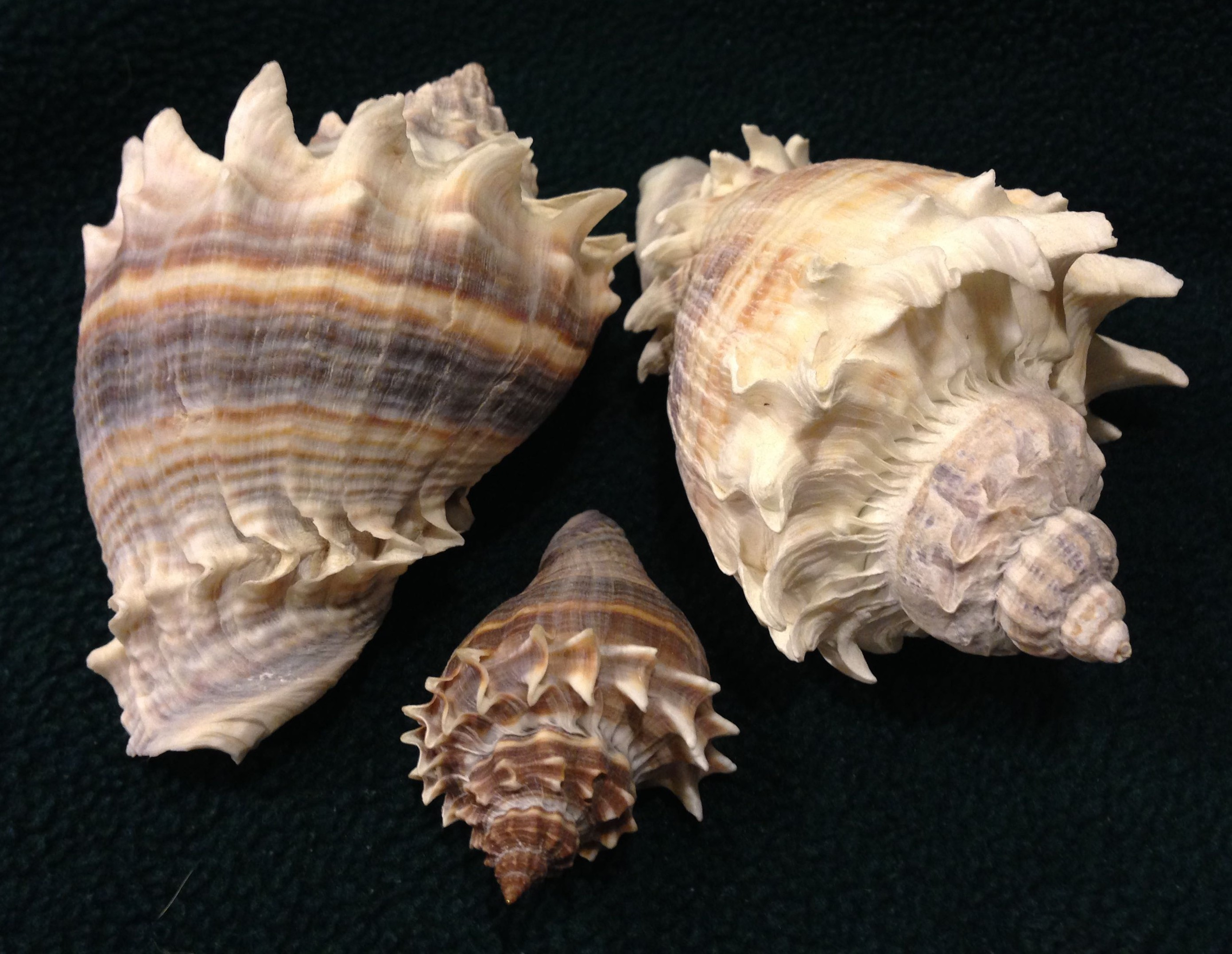 King's Crown, 2-28-15, Sanibel Island, SeaShell News & Shelling.