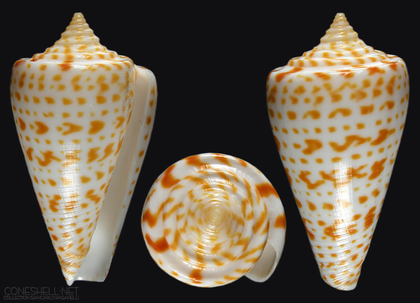 Seashell News, Cayo Costa Shelling, 3-2-15: Alphabet Cone. Photo Credit: coneshell.net.