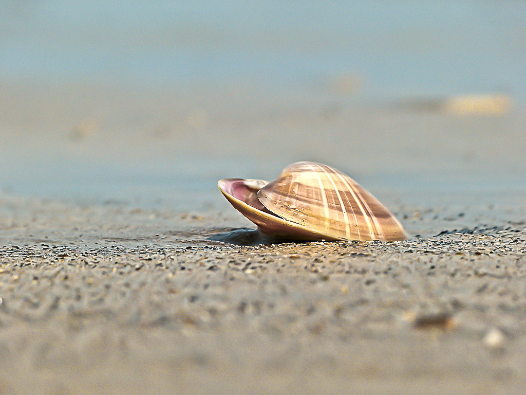 SeaShell News, 3-7-15, Cockle On The Beach By Patrick, Via Creative Commons.