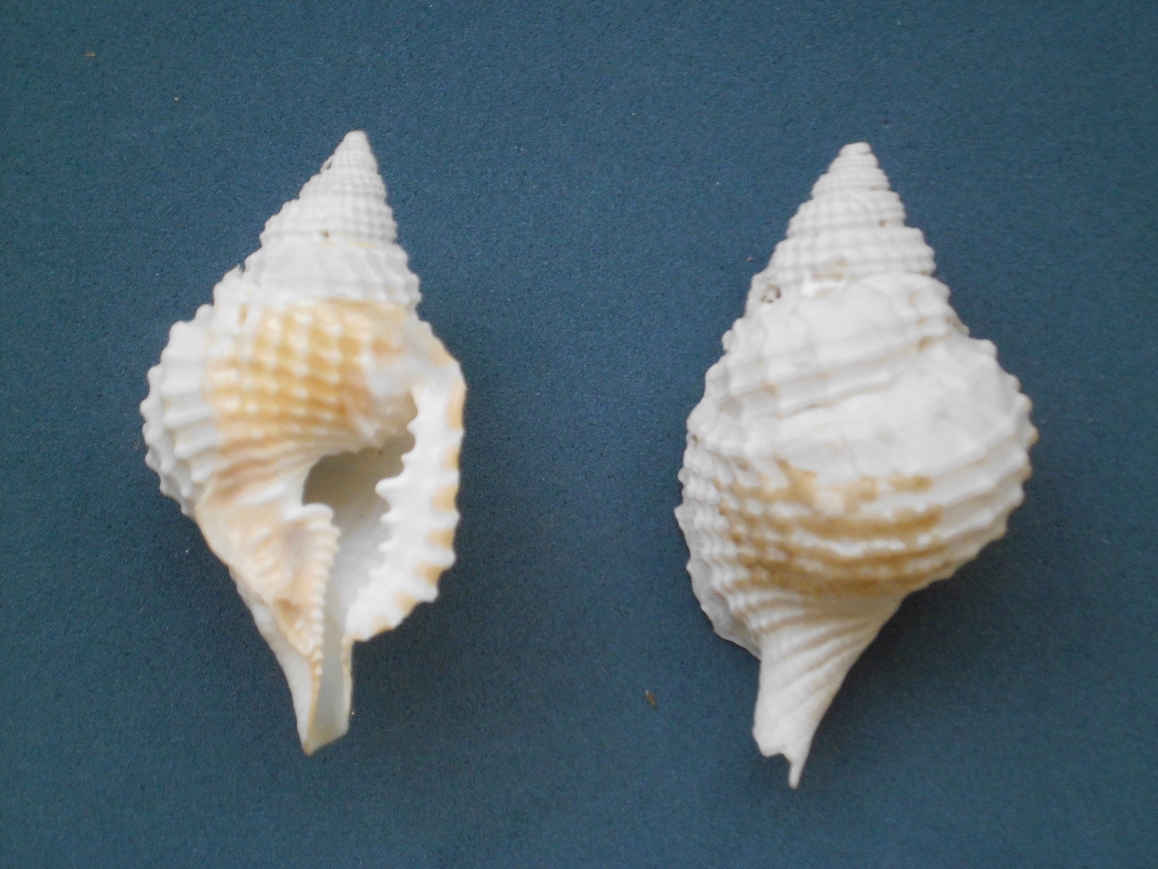 "SeaShell News, 3-18-15, Atlantic Distorsio, ""Distorsio clathrata (Lamarck, 1816) 2013 000"" by Veronidae – Own work. Licensed under CC BY-SA 3.0 via Wikimedia Commons."