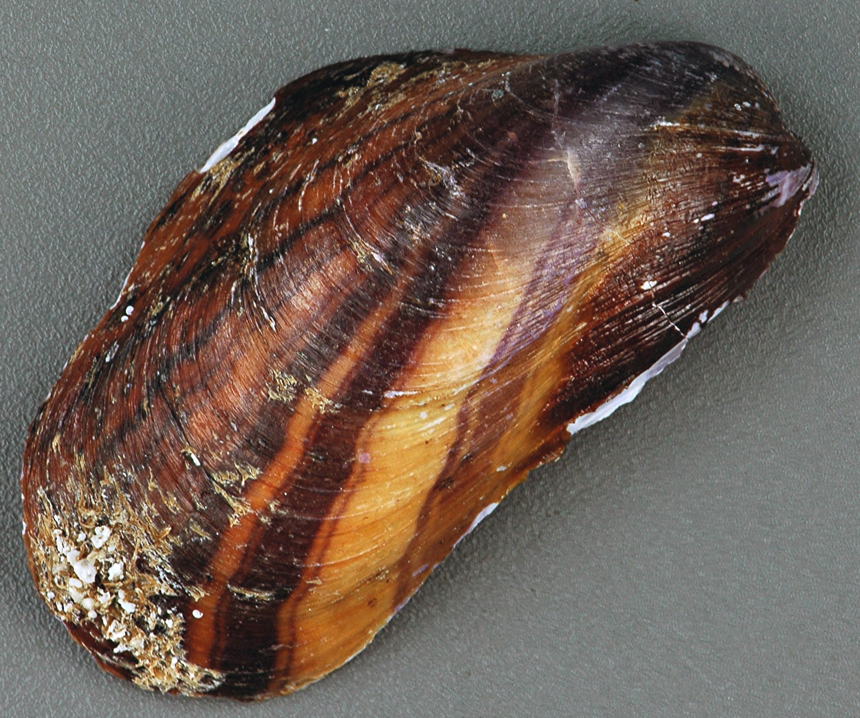 SeaShell News, 3-21-15, Tulip Mussel Via Wikimedia.