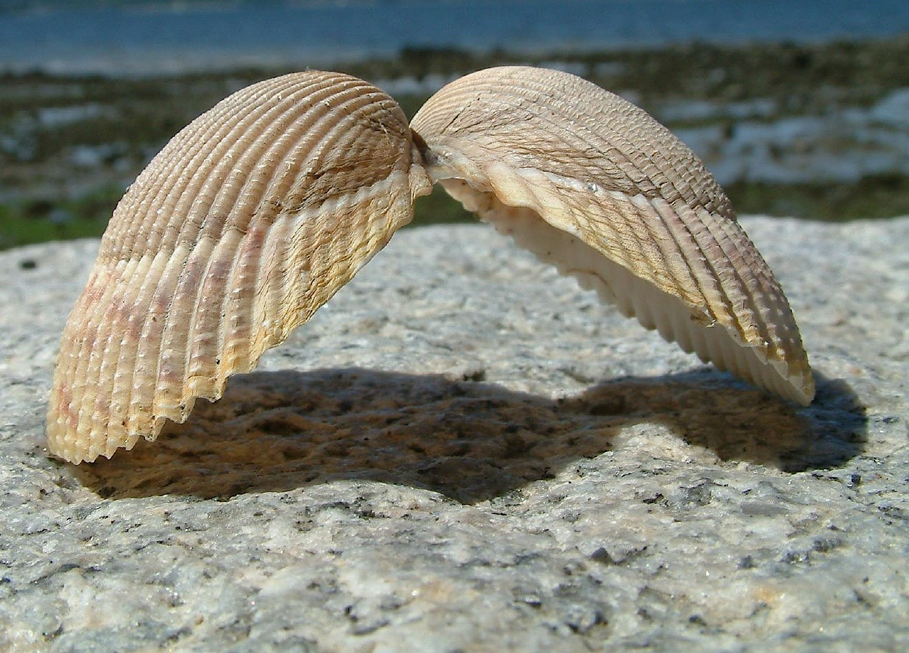 SeaShell News, Shell Or Angel's Wings By Darijus Strasunskas, Via Creative Commons.