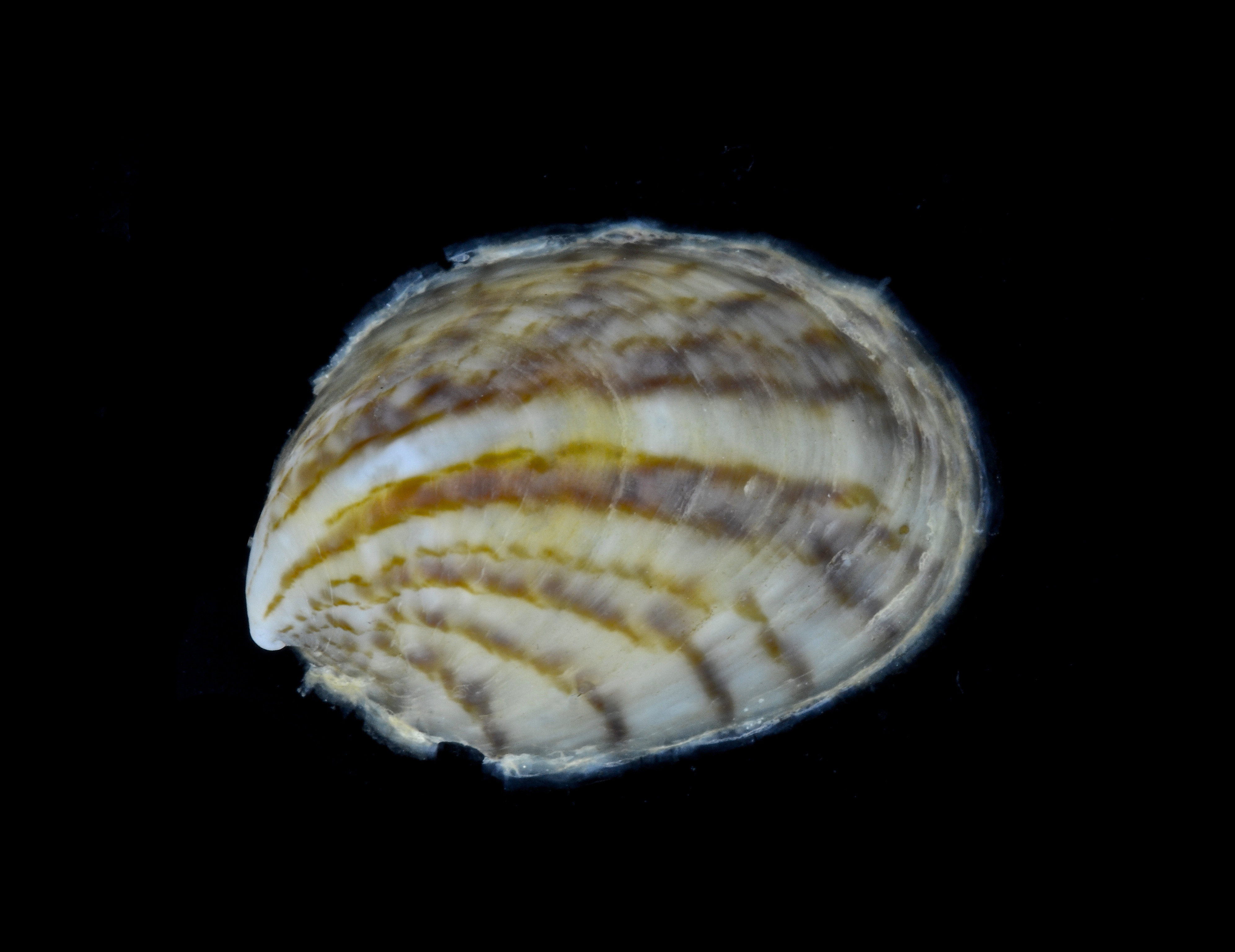 SeaShell News, 4-1-15, Atlantic Slipper Shell, Crepidula fornicata - Common Atlantic Slippersnail by Crabby Taxonomist, Via Creative Commons.